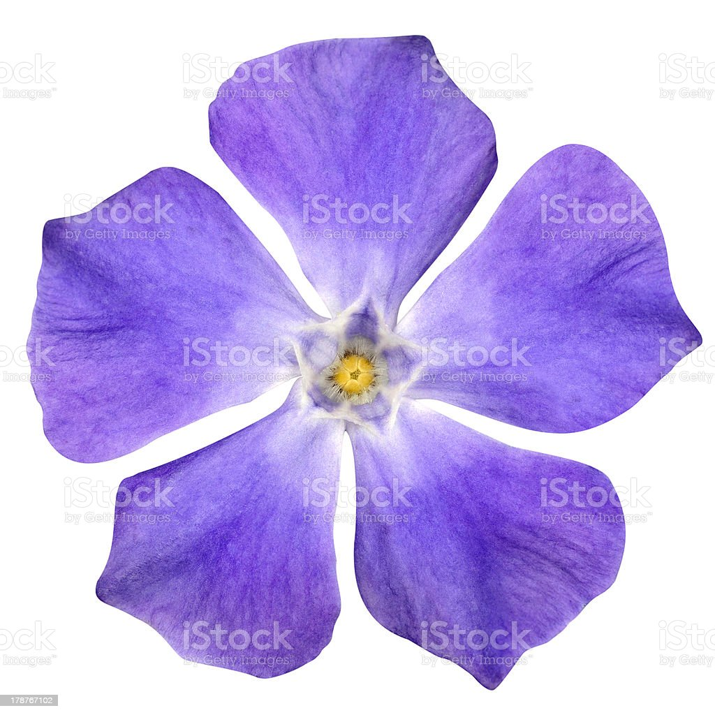 Purple Flower - Periwinkle Vinca minor isolated on White royalty-free stock photo