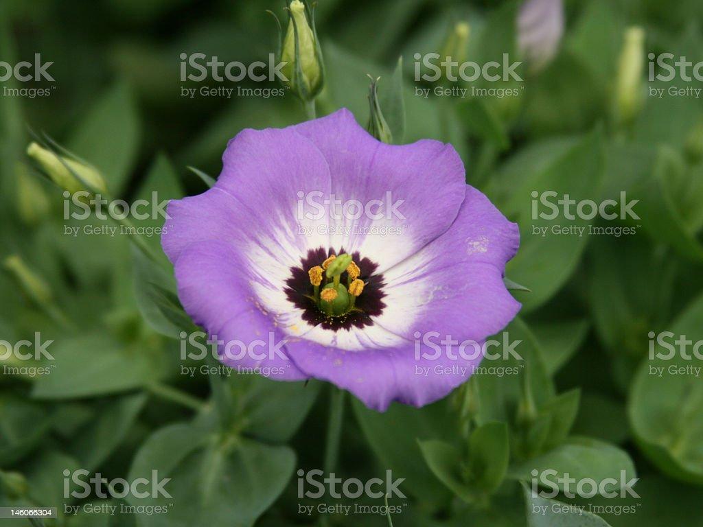 Purple Flower Photograph royalty-free stock photo