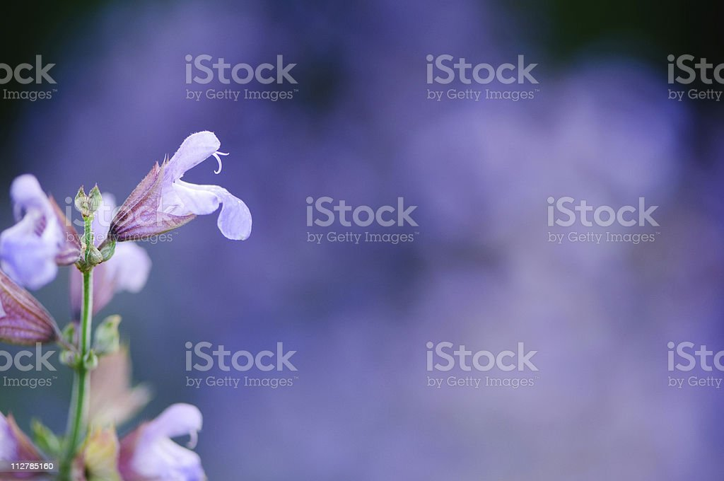 Purple flower royalty-free stock photo