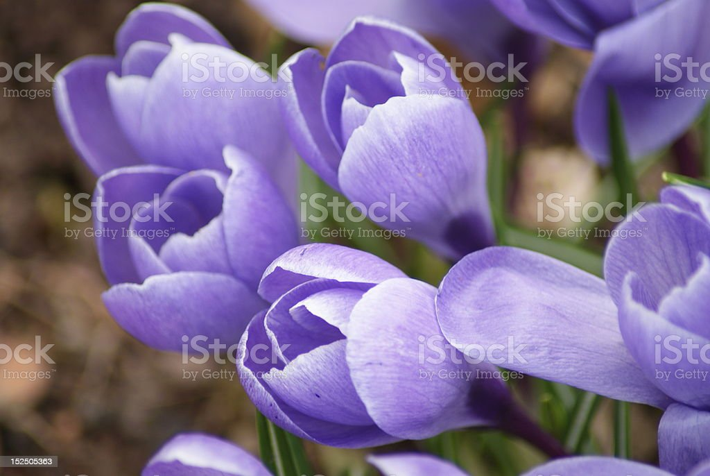 Lila Blume stock photo