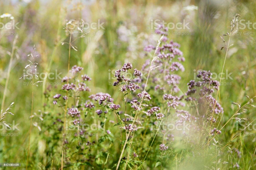 Purple Flower (Origanum Vulgare) stock photo
