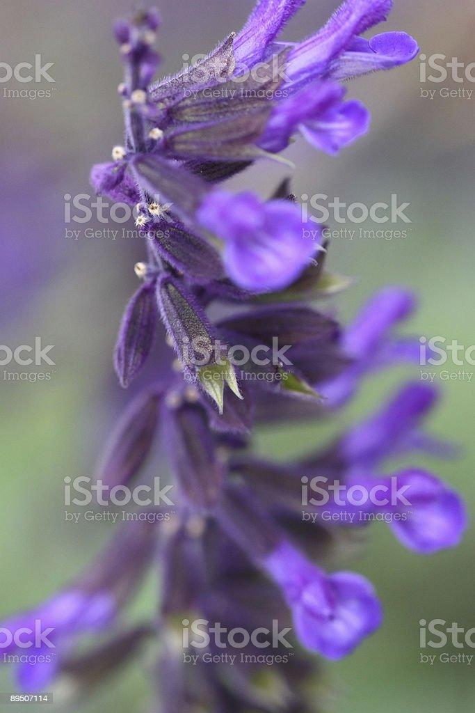 Purple flower royalty-free stock photo
