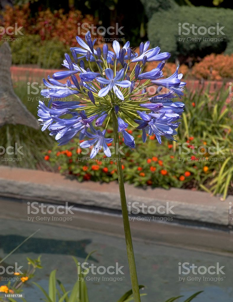 Purple Flower Stands Alone royalty-free stock photo