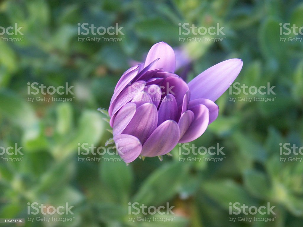 Purple flower waking up royalty-free stock photo