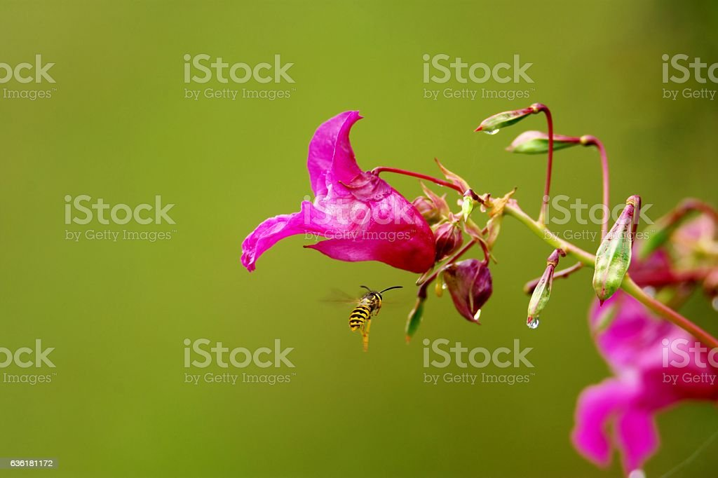 Purple flower (Himalayan Balsam) with a wasp on green background stock photo
