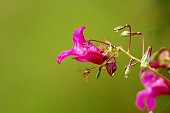 Purple flower (Himalayan Balsam) with a wasp on green background