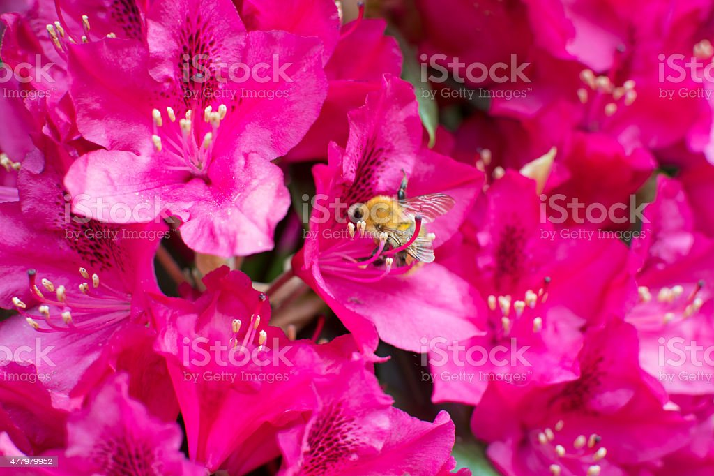 Purple Flower with Blumbee royalty-free stock photo