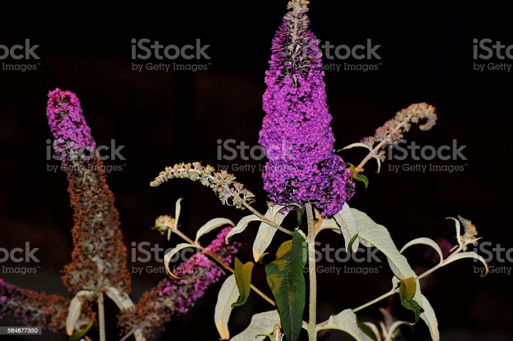 Purple flowering buddleia plant at night by Crown Court stock photo