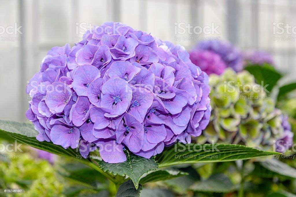 Purple flowering Hydrangea in a  Hydrangea cut flowers nursery stock photo
