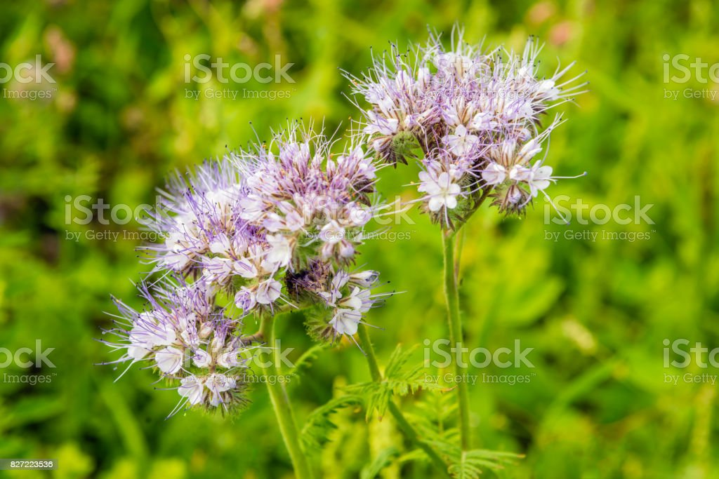 Purple flowering lacy phacelia from close stock photo