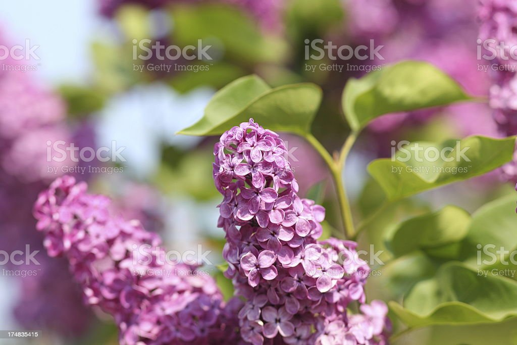 purple flowering lilac in spring royalty-free stock photo