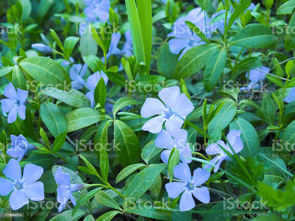 Purple flowers and green leaves royalty-free stock photo