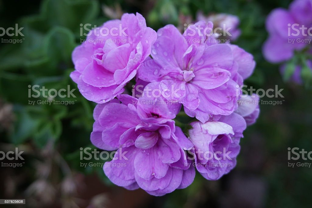 Purple Flowers and Water Drops stock photo