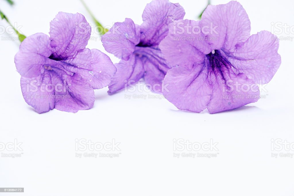 Purple flowers  are on white background stock photo