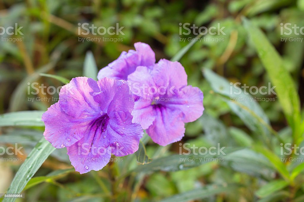 Purple flowers bloom in the morning stock photo