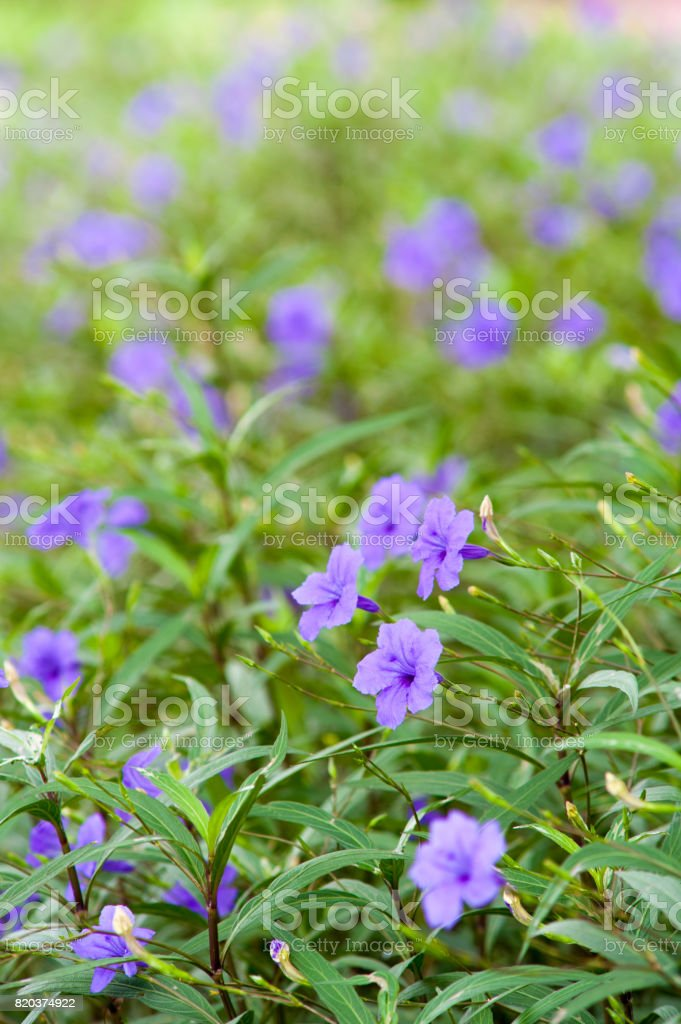 Purple flowers bloom in the morning. (Ruellia tuberosa) stock photo