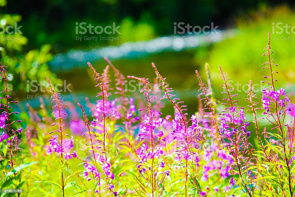 Purple flowers by the river stock photo
