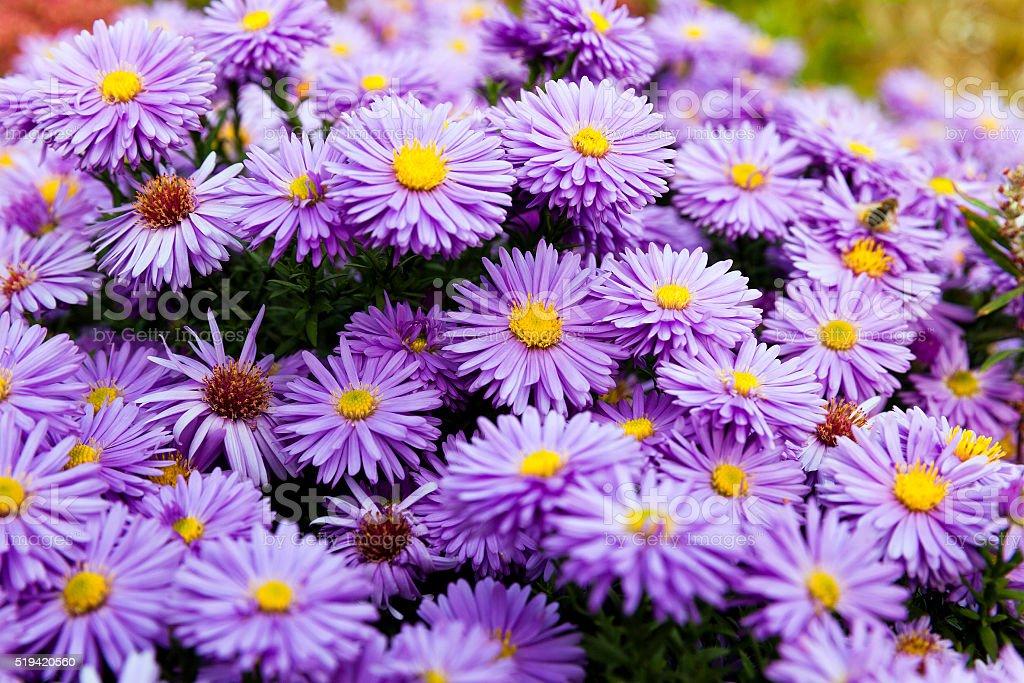 purple flowers , close-up stock photo