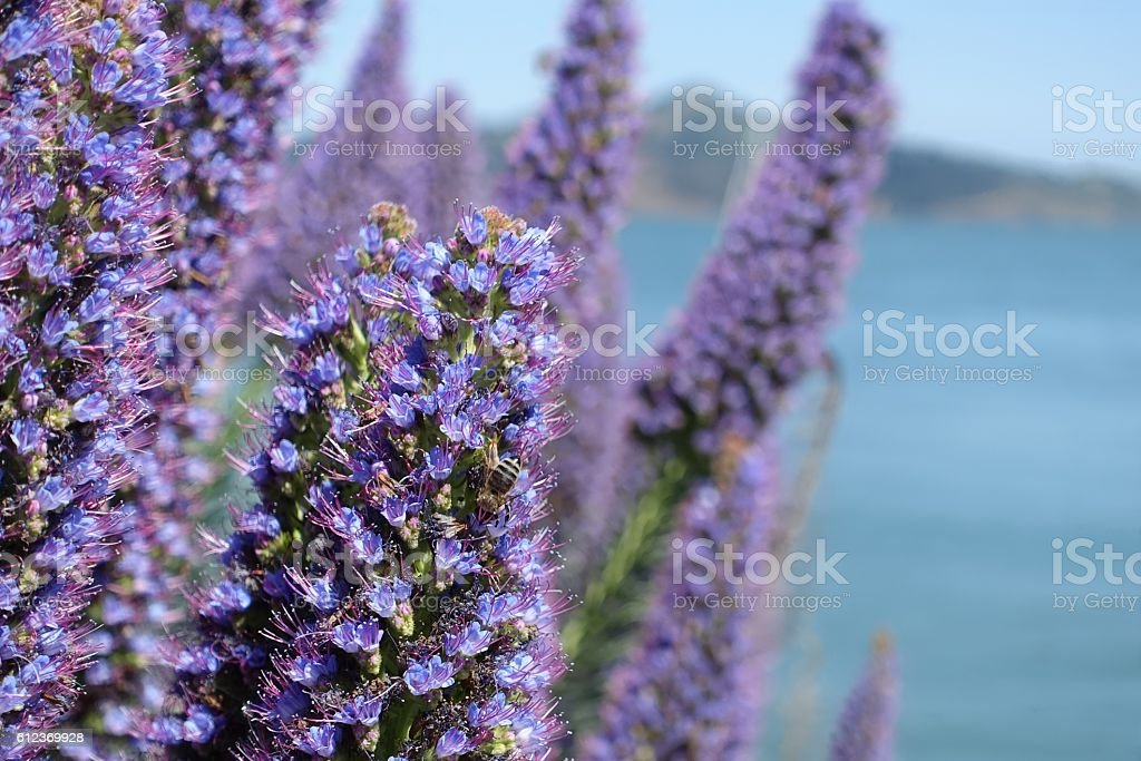 Purple flowers, echium candicans, and lone bee in Sausalito stock photo
