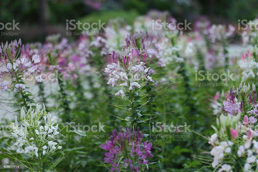 Purple flowers garden or spider flower. stock photo