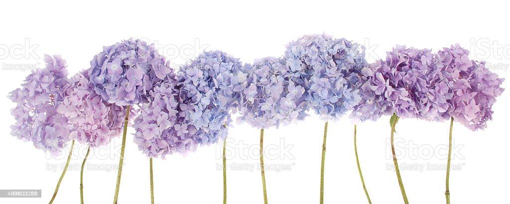 Purple flowers hydrangea (Clipping path) stock photo