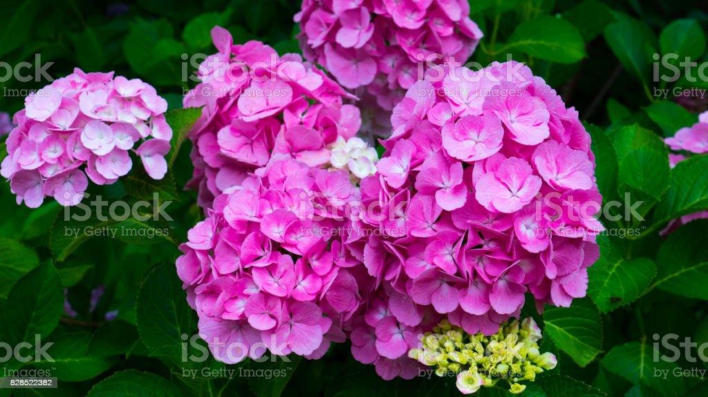Purple flowers hydrangeas close-up. stock photo