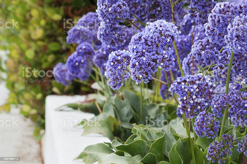 Purple Flowers in Border along a Path royalty-free stock photo