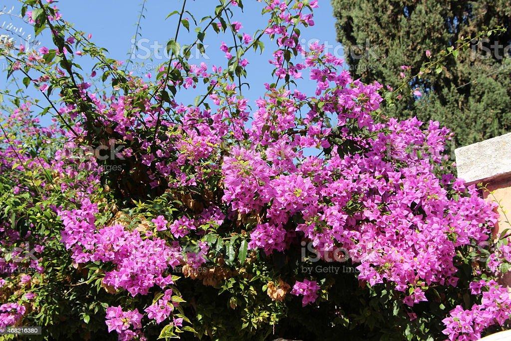 Purple Flowers in Garden of Gethsemane stock photo