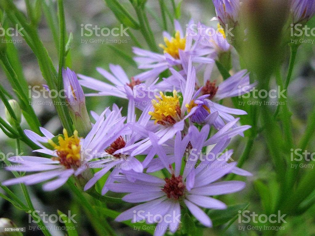 Fleurs violettes sur gazon vert. photo libre de droits