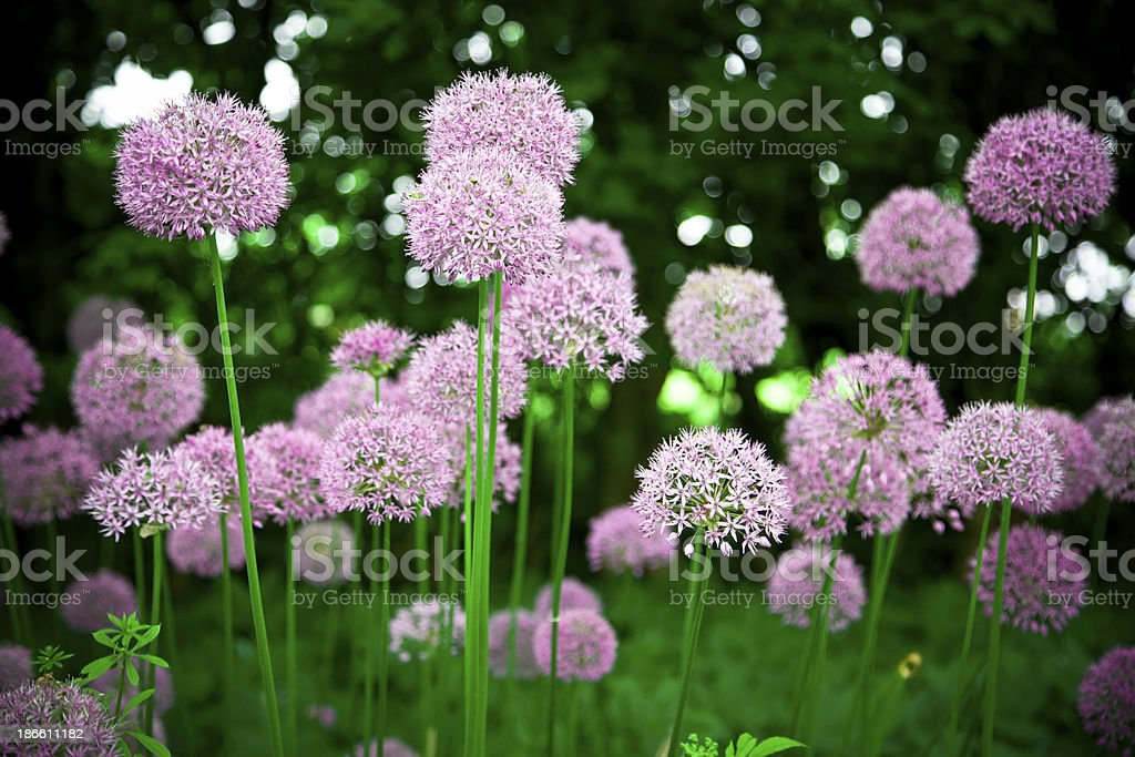 Purple flowers in June royalty-free stock photo