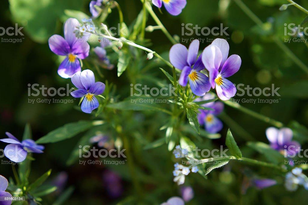 Purple flowers in sunlight stock photo