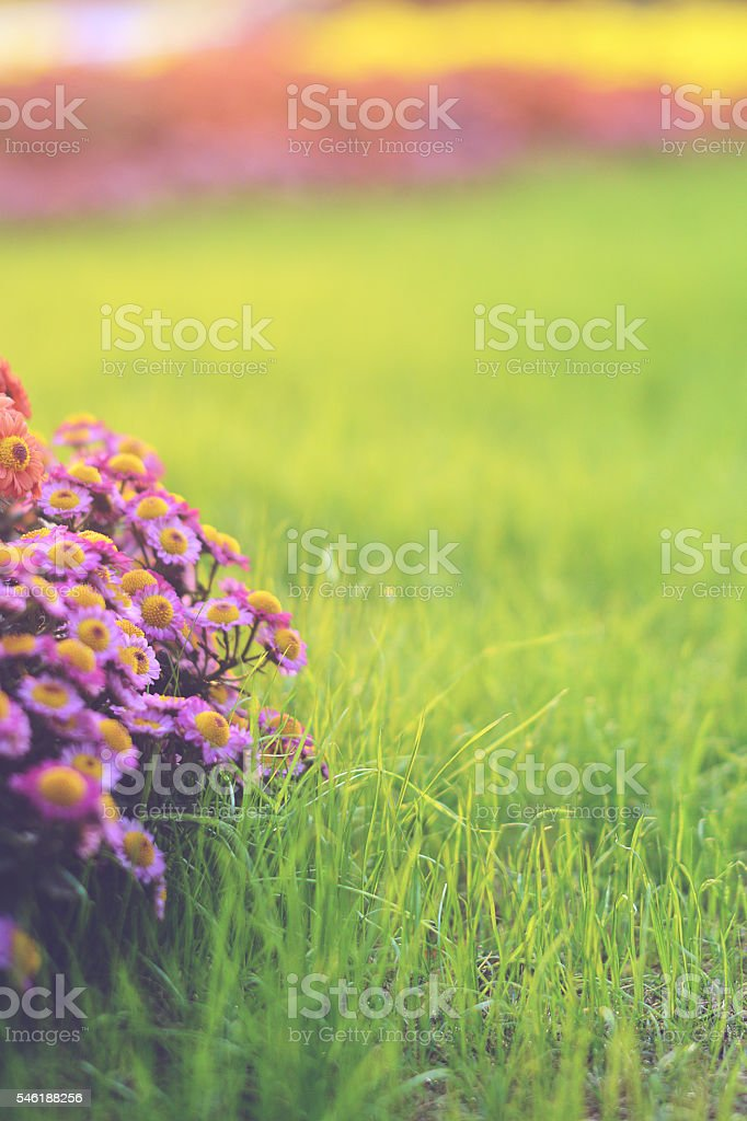 Purple Flowers in Sunset stock photo