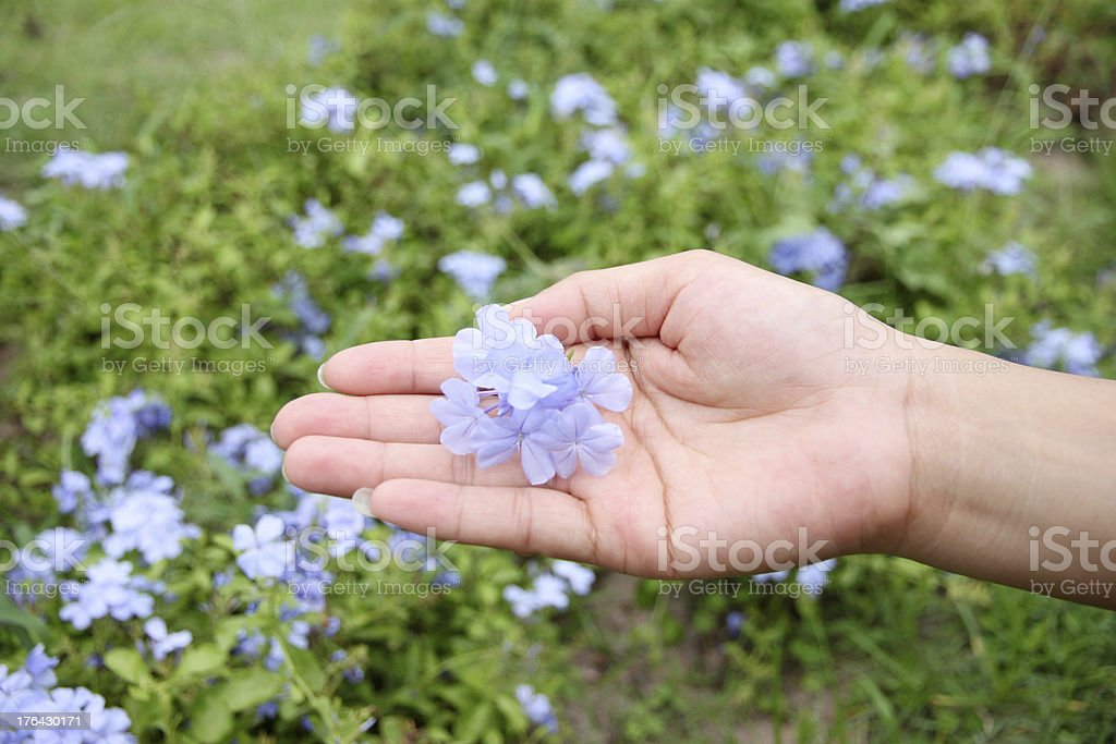 Purple flowers in the backyard on hand. royalty-free stock photo