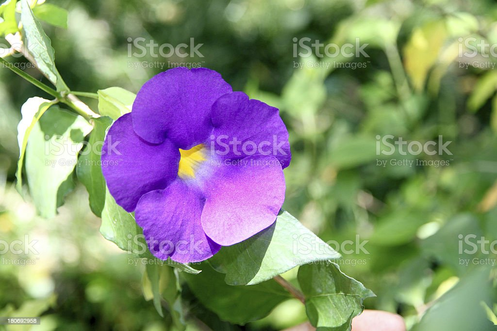 Purple flowers in the backyard. royalty-free stock photo