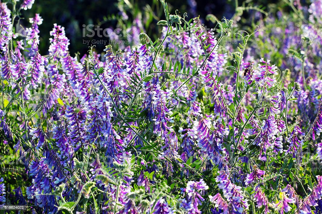 Purple flowers of blue vetch (Vicia cracca) stock photo