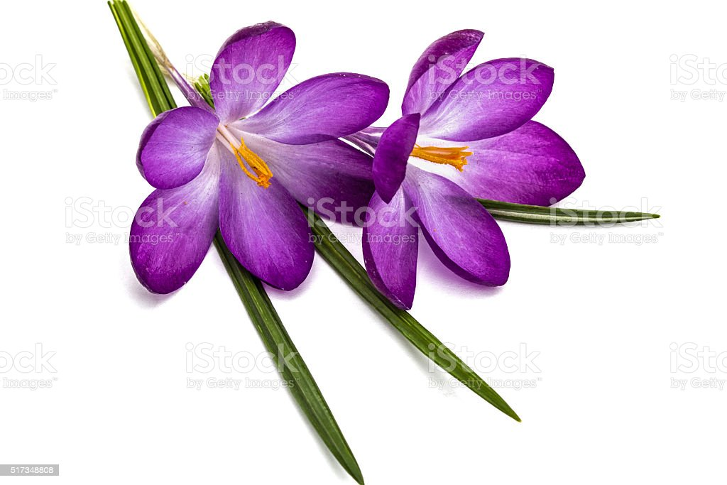 Purple flowers of crocus, isolated on white background stock photo