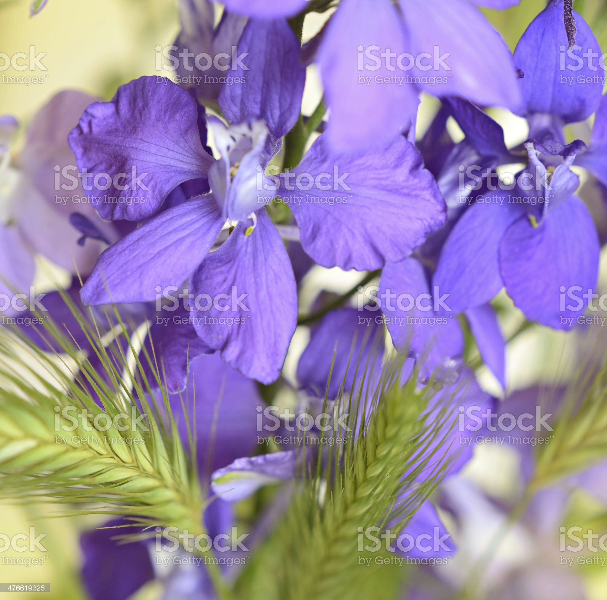 Purple flowers of delphinium royalty-free stock photo