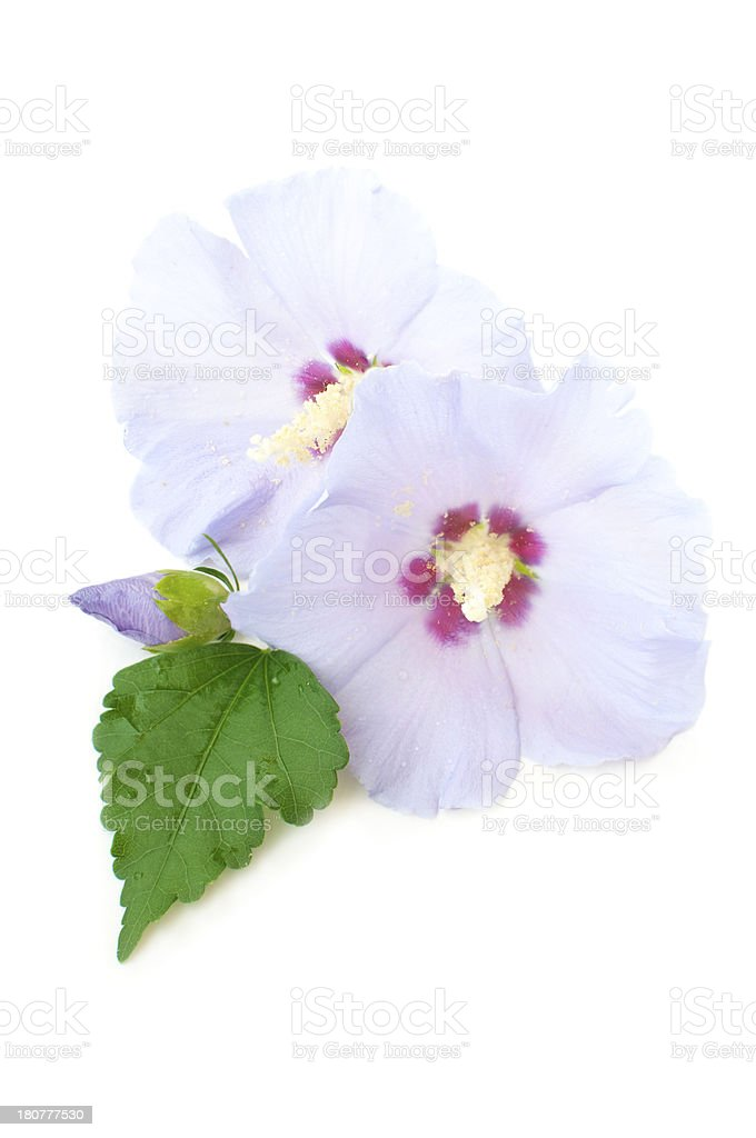 purple flowers of hibiscus royalty-free stock photo