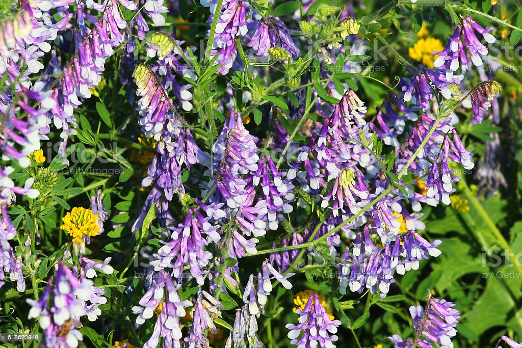 Purple flowers of tufted vetch (Vicia cracca) stock photo