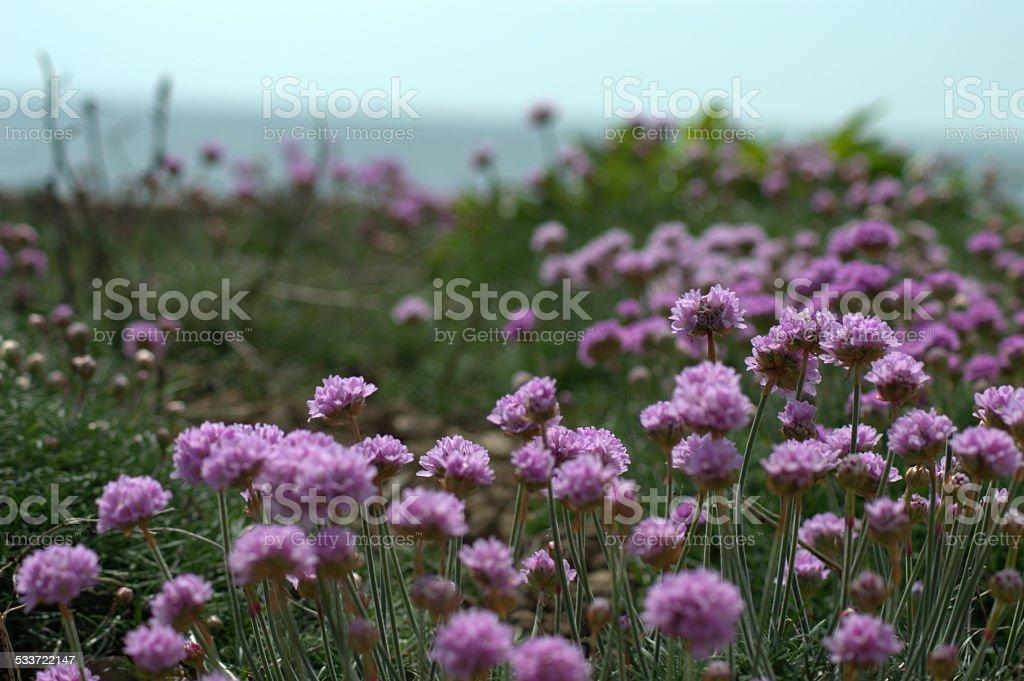 Purple Flowers on Coastal Sandbank stock photo