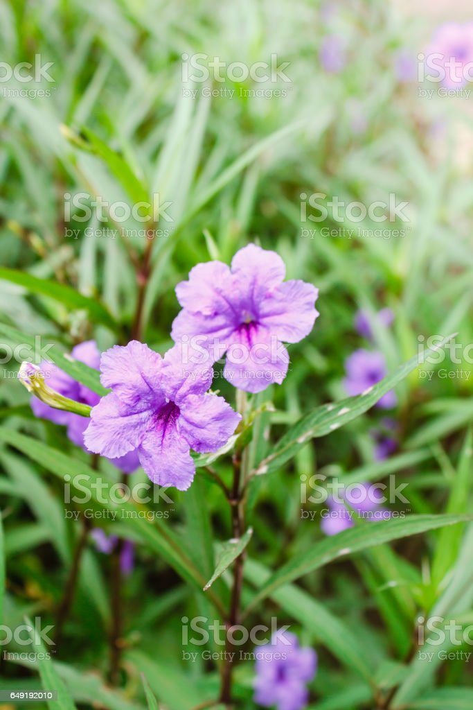 Purple flowers or Ruellia tuberosa Linn, Popping pod, Toi ting (thai name). stock photo