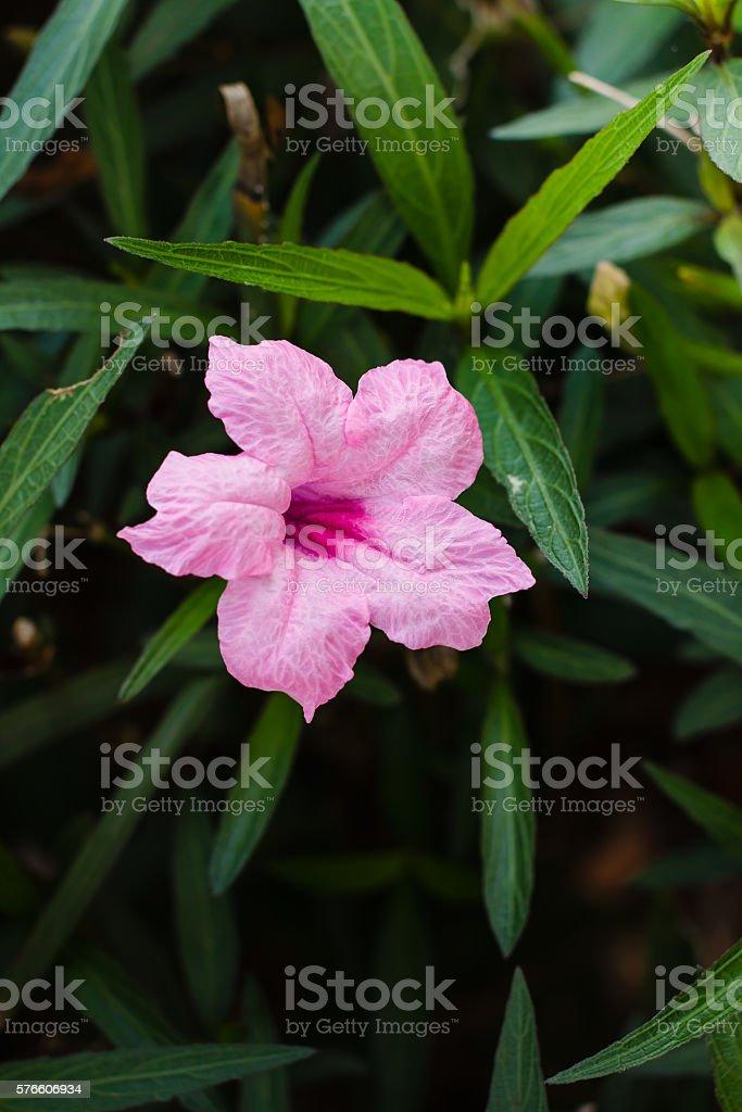 Purple flowers or Ruellia tuberosa Linn, Waterkanon, Popping pod stock photo