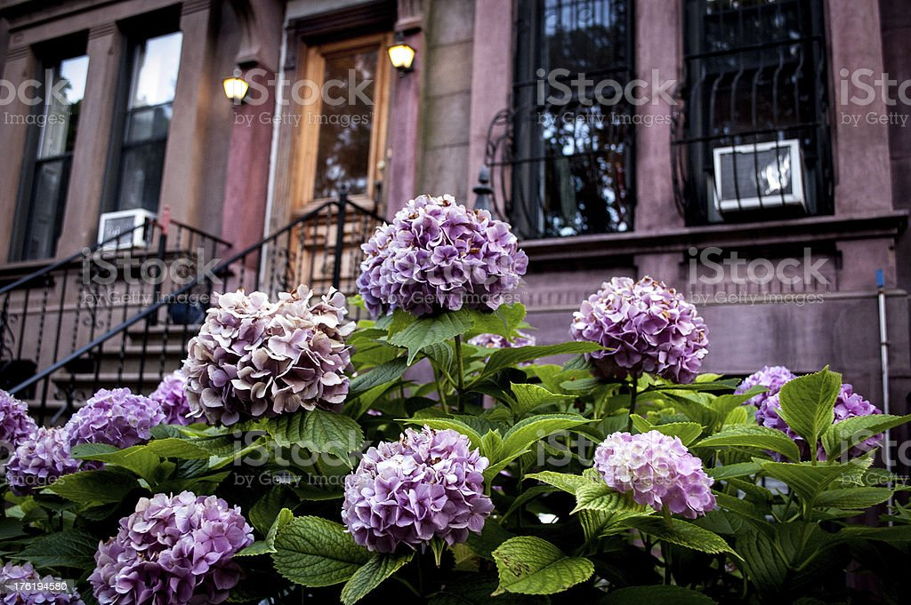 Purple Flowers outside a brownstone royalty-free stock photo