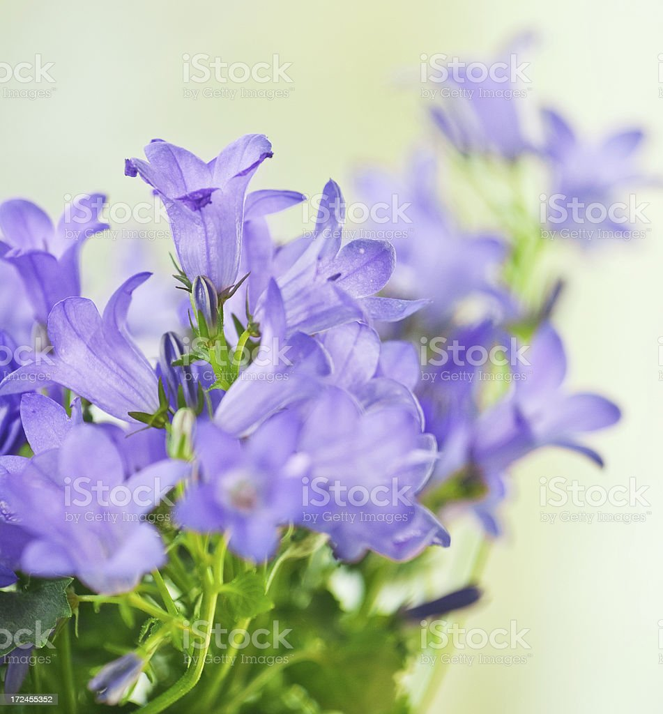 Purple flowers royalty-free stock photo