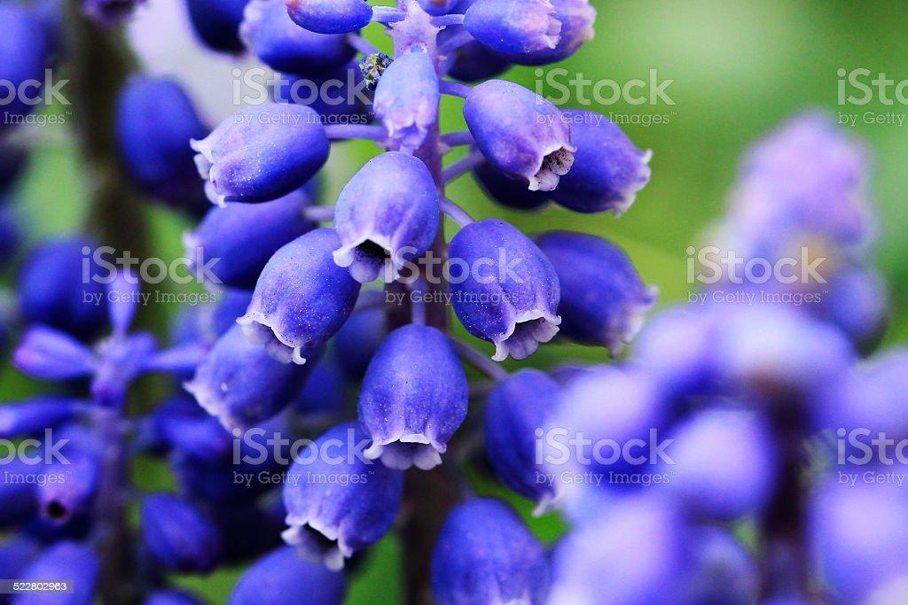 Fleurs pourpre photo libre de droits