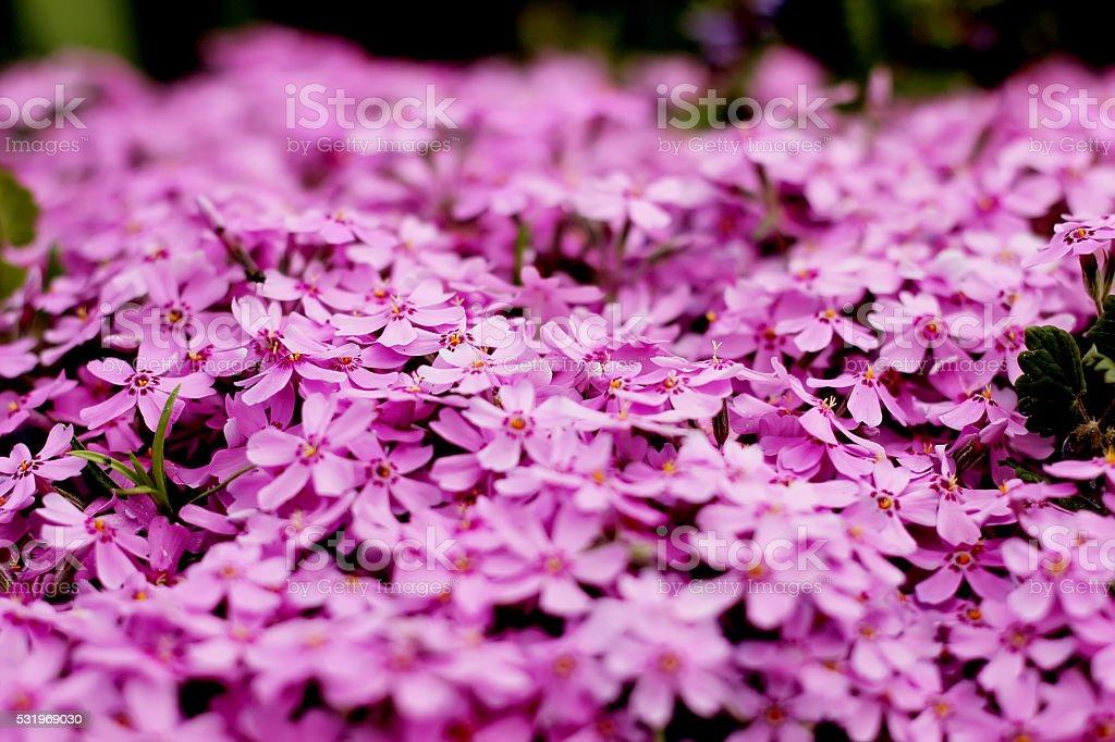 Purple flowers texture closeup royalty-free stock photo
