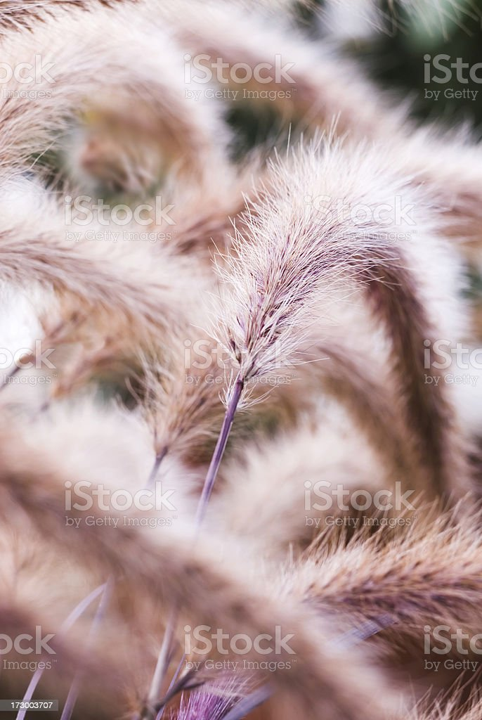 Purple Fountain Grass in Autumn royalty-free stock photo