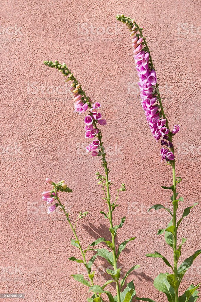 Purple foxglove [Digitalis purpurea] stock photo