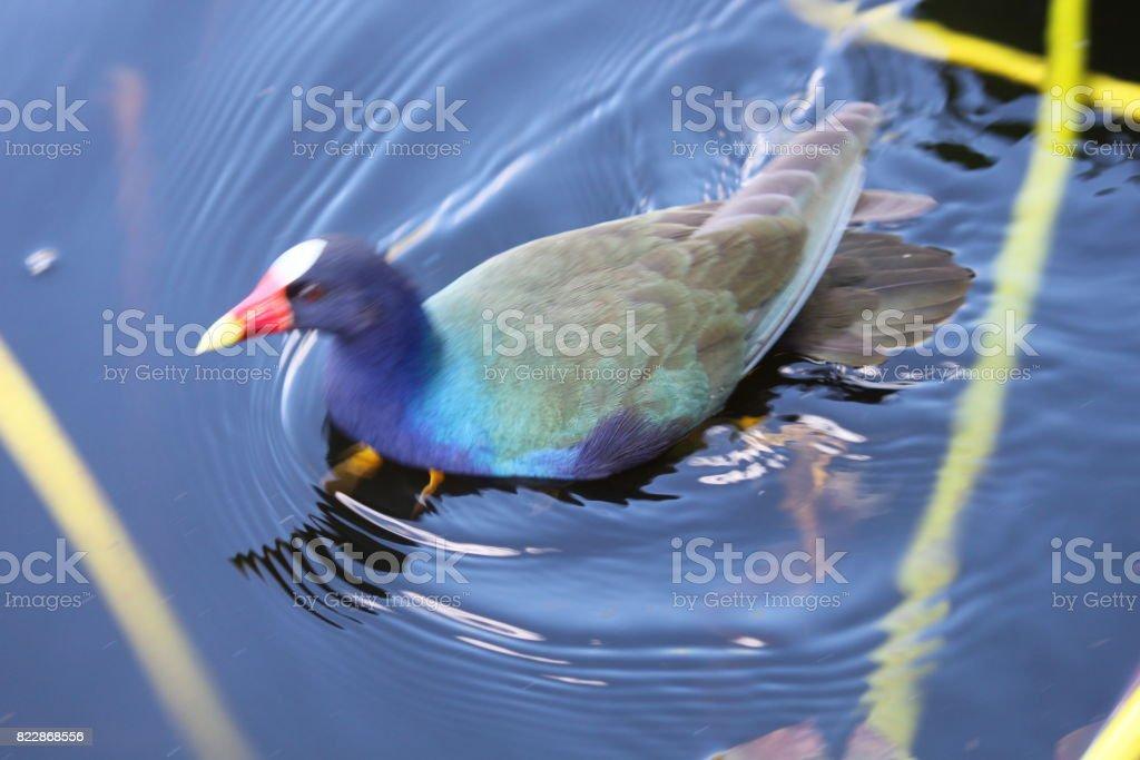 Purple Gallinule Bird stock photo