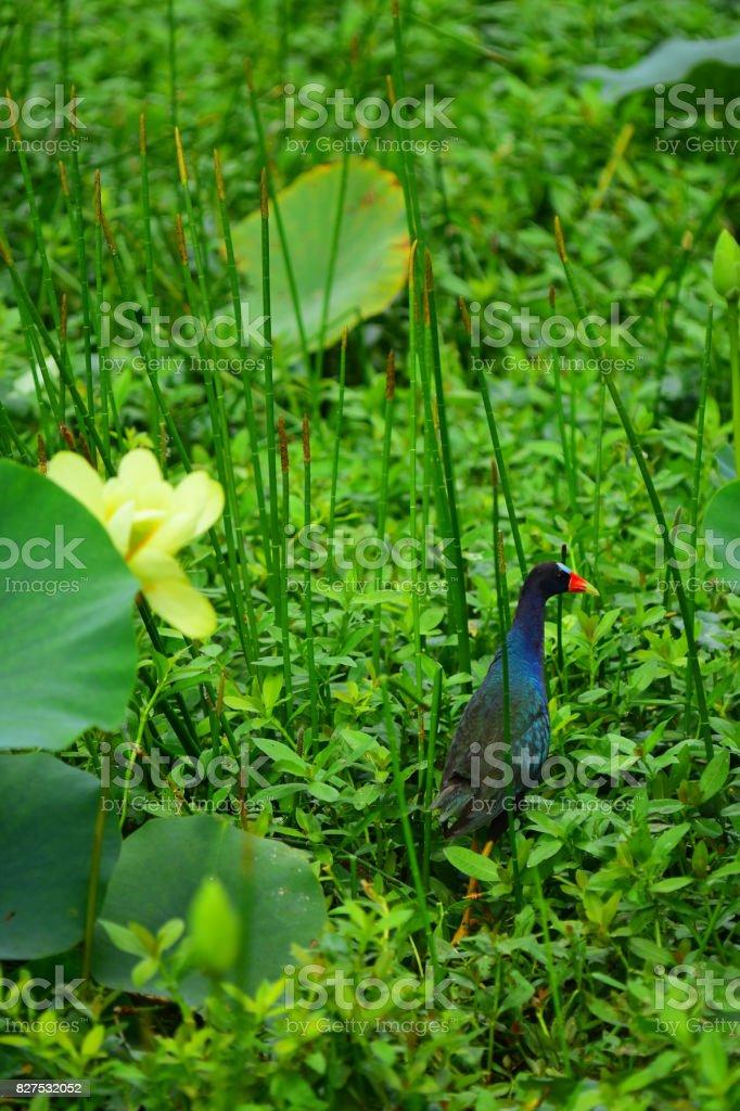 Purple Gallinule next to flowering American Lotus stock photo